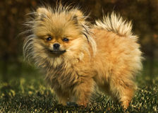 Pomeranian puppy named Bentley Stock Photography