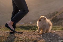 Pomeranian puppy near owner legs Royalty Free Stock Photo