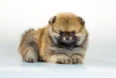 Pomeranian puppy over white background Stock Image