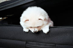 Pomeranian puppy peeking out of a black suitcase down Stock Photos