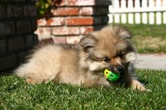 Pomeranian Puppy Playing Royalty Free Stock Image