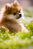 Pomeranian Puppy Portrait. Portrait of an adorable Pomeranian puppy laying on a grassy lawn, looking over his shoulder stock photos