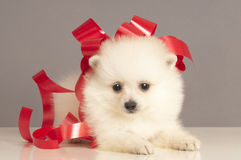 Pomeranian puppy  present. Royalty Free Stock Photos