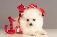 Pomeranian Puppy Present. Royalty Free Stock Photos