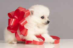Pomeranian Puppy Present. Royalty Free Stock Images