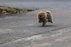 Pomeranian puppy running Royalty Free Stock Photography