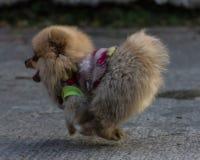 Pomeranian puppy running Stock Photo