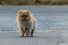 Pomeranian puppy running Royalty Free Stock Images