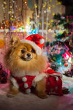 Pomeranian puppy in santa clothing Royalty Free Stock Image