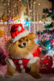 Pomeranian puppy in santa clothing Royalty Free Stock Photography