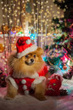 Pomeranian puppy in santa clothing Royalty Free Stock Photo
