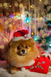 Pomeranian puppy in santa clothing Royalty Free Stock Photos
