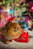 Pomeranian puppy in santa clothing Stock Photography