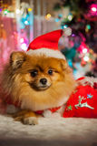 Pomeranian puppy in santa clothing Stock Images
