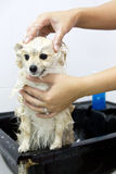 Pomeranian puppy shower. In bathroom Royalty Free Stock Photos