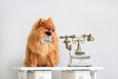 Pomeranian puppy sits near a retro telephone. Royalty Free Stock Photography