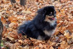Pomeranian puppy is sitting in the autumn foliage. Royalty Free Stock Image