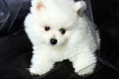 Pomeranian puppy sitting on a black cloth Royalty Free Stock Image