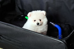 Pomeranian puppy sitting in a suitcase Royalty Free Stock Images