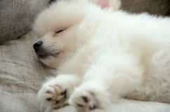 Pomeranian puppy sleeping in the bed closeup Royalty Free Stock Image