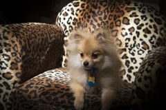 Pomeranian Puppy Dog Stock Image Image Of Doggie Small 35108381