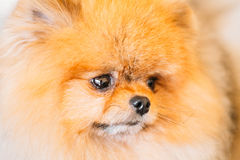 Pomeranian Puppy Spitz Dog Close Up Portrait Stock Photography