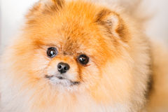 Pomeranian Puppy Spitz Dog Close Up Portrait Royalty Free Stock Images