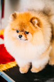 Pomeranian Puppy Spitz Dog Close Up Portrait Royalty Free Stock Photo