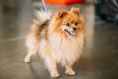 Pomeranian Puppy Spitz Dog On Floor Royalty Free Stock Photography