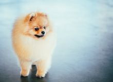 Pomeranian Puppy Spitz Dog In Full Length Stock Photography