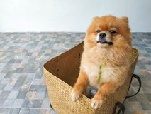 A Pomeranian puppy is standing in a box and trying to out of the wooden box stock images