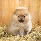 Pomeranian puppy on a straw Royalty Free Stock Images