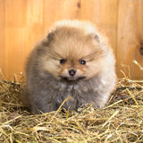Pomeranian puppy on a straw Royalty Free Stock Photos