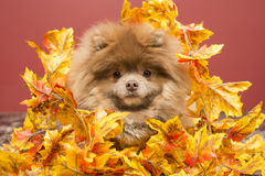 Pomeranian puppy. Sweater pomeranian, winter clothes fluffy dog brown and grey jacket Fall, autumn, Halloween Stock Image
