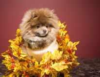 Pomeranian puppy. Sweater pomeranian, winter clothes fluffy dog brown and grey jacket Fall, autumn, Halloween Stock Photography