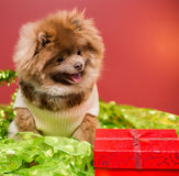 Pomeranian puppy. Sweater pomeranian, winter clothes fluffy dog brown and grey jacket Fall, autumn, Halloween Royalty Free Stock Photos