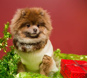 Pomeranian puppy. Sweater pomeranian, winter clothes fluffy dog brown and grey jacket Fall, autumn, Halloween Stock Photo