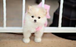 Pomeranian puppy. Tiny toy Pomeranian puppy passing through the fence Stock Photo
