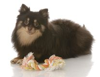 Pomeranian puppy with toy royalty free stock images