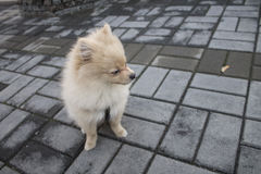 Pomeranian puppy for a walk Royalty Free Stock Image