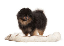 Pomeranian puppy on white Royalty Free Stock Image