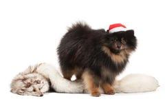 Pomeranian puppy on white Stock Photography