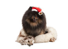 Pomeranian puppy on white Stock Photography