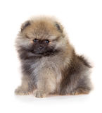 Pomeranian puppy on a white background Royalty Free Stock Photo