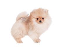 Pomeranian puppy on white stock images