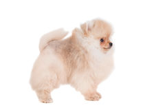 Pomeranian puppy on white Stock Photos