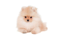 Pomeranian puppy on white Royalty Free Stock Photos
