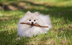 Pomeranian que miente en la hierba con un palillo Fotografía de archivo libre de regalías