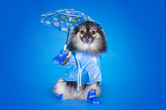 Pomeranian in a raincoat with umbrella isolated on a blue backgr Stock Photo