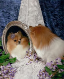 Pomeranian reflection in the Mirror Royalty Free Stock Photo